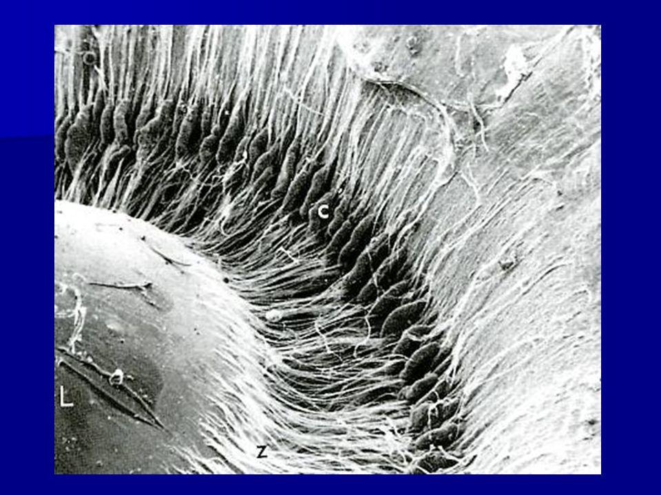 Iride porzione anteriore della coroide che ricopre parzialmente il cristallino lasciando la centro unapertura circolare (pupilla) camera posteriore camera anteriore epitelio fortemente pigmentato (blocca la penetrazione della luce tranne che attraverso la pupilla) colore dellocchio di natura mioepiteliale (estensioni ricche di miofilamenti) delle cellule epiteliali cerchi concentrici di fibrocellule muscolari lisce (sfintere pupillare)
