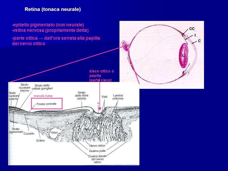Retina (tonaca neurale) -epitelio pigmentato (non neurale) -retina nervosa (propriamente detta) -parte ottica dallora serrata alla papilla del nervo ottico disco ottico o papilla (parte cieca) macula lutea