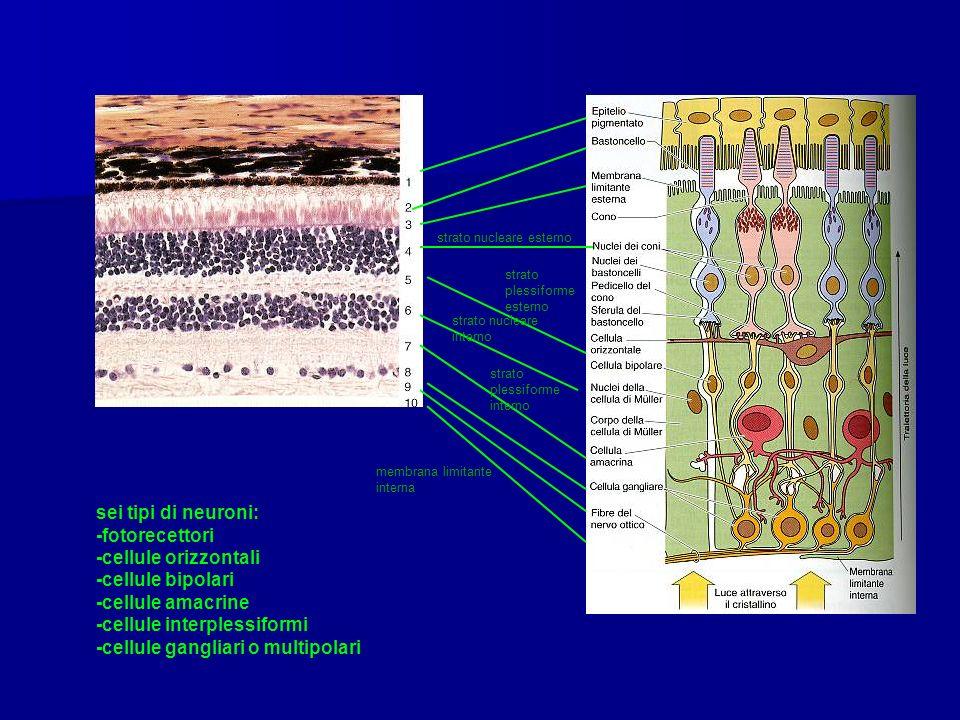 strato nucleare esterno strato plessiforme esterno strato nucleare interno strato plessiforme interno membrana limitante interna sei tipi di neuroni: -fotorecettori -cellule orizzontali -cellule bipolari -cellule amacrine -cellule interplessiformi -cellule gangliari o multipolari