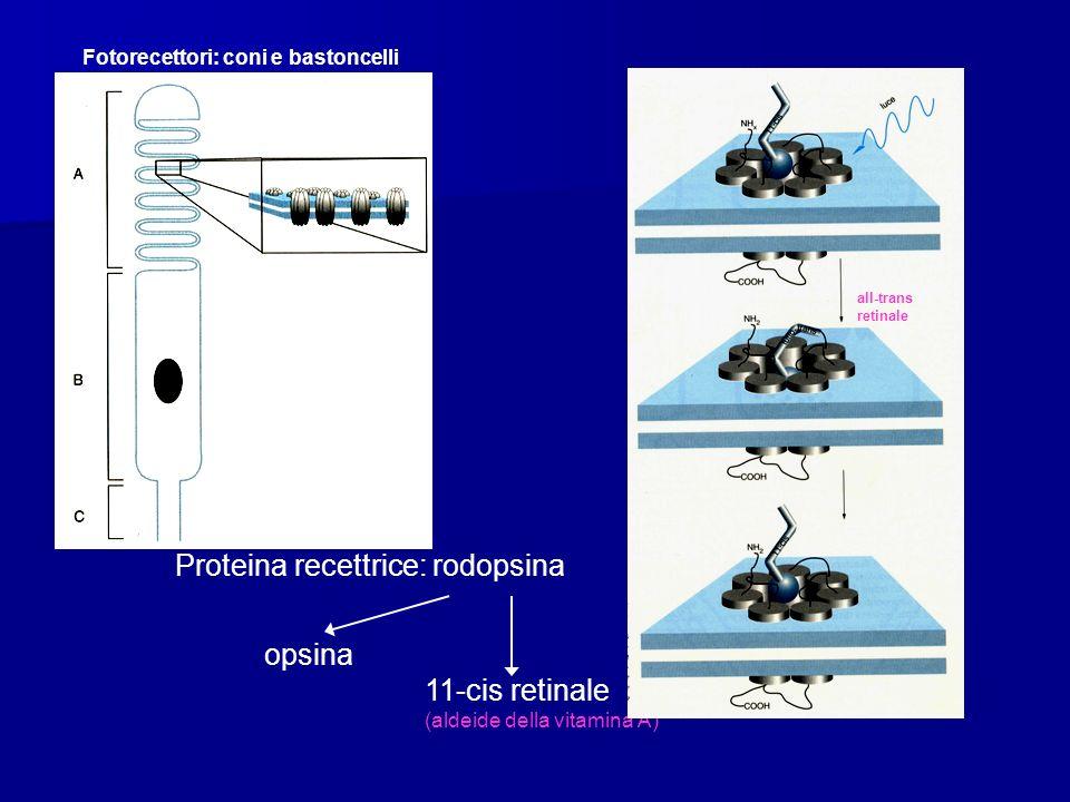 Fotorecettori: coni e bastoncelli Proteina recettrice: rodopsina opsina 11-cis retinale (aldeide della vitamina A) all-trans retinale
