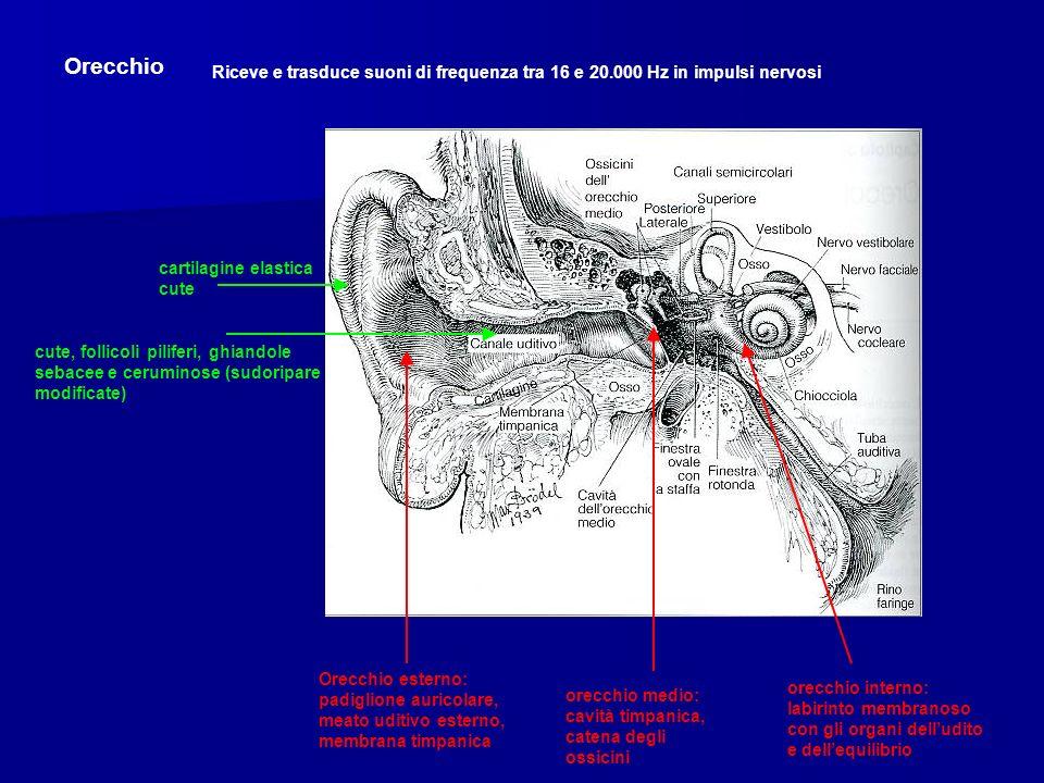 Orecchio Riceve e trasduce suoni di frequenza tra 16 e 20.000 Hz in impulsi nervosi Orecchio esterno: padiglione auricolare, meato uditivo esterno, membrana timpanica orecchio medio: cavità timpanica, catena degli ossicini orecchio interno: labirinto membranoso con gli organi delludito e dellequilibrio cartilagine elastica cute cute, follicoli piliferi, ghiandole sebacee e ceruminose (sudoripare modificate)
