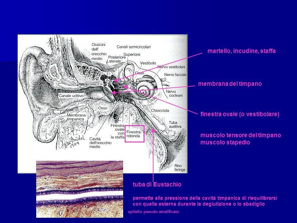 martello, incudine, staffa membrana del timpano finestra ovale (o vestibolare) muscolo tensore del timpano muscolo stapedio tuba di Eustachio epitelio pseudo-stratificato permette alla pressione della cavità timpanica di riequilibrarsi con quella esterna durante la deglutizione o lo sbadiglio