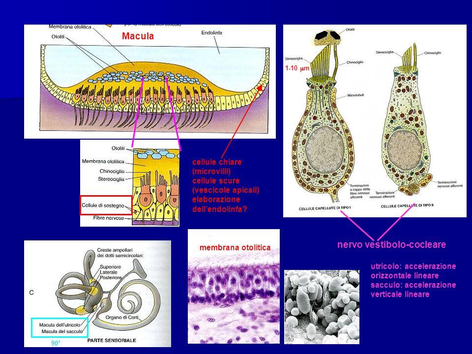 90° Macula cellule chiare (microvilli) cellule scure (vescicole apicali) elaborazione dellendolinfa? 1-10 m nervo vestibolo-cocleare membrana otolitic