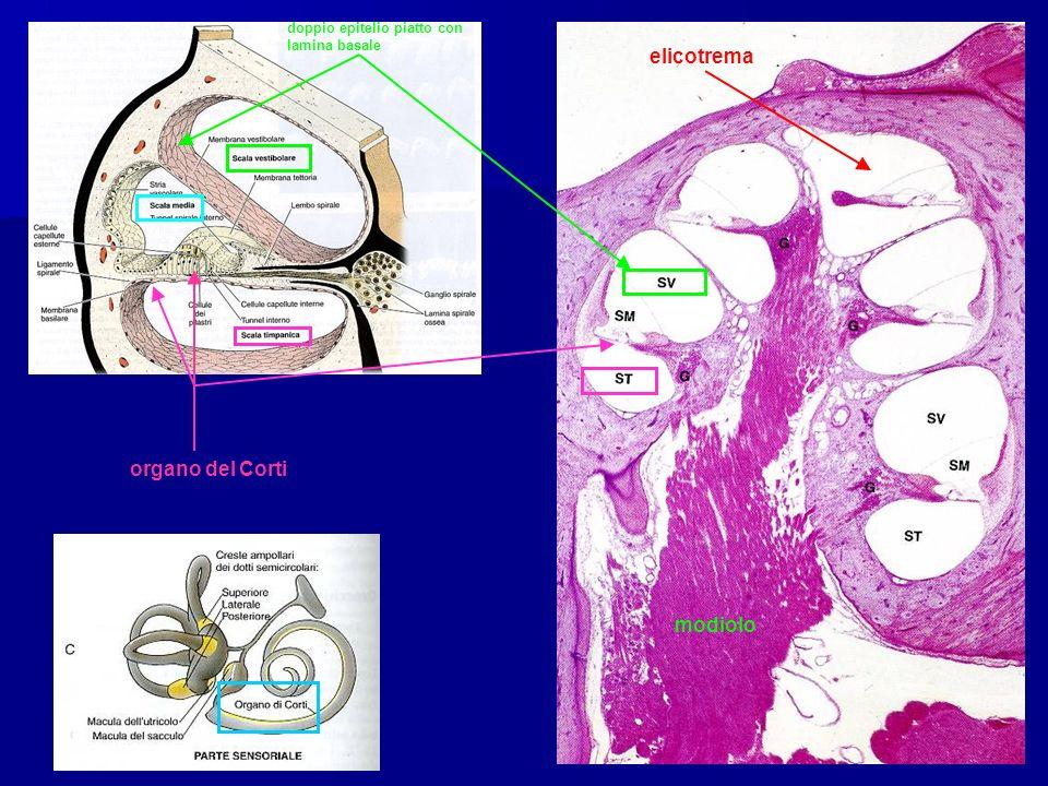 elicotrema doppio epitelio piatto con lamina basale modiolo organo del Corti