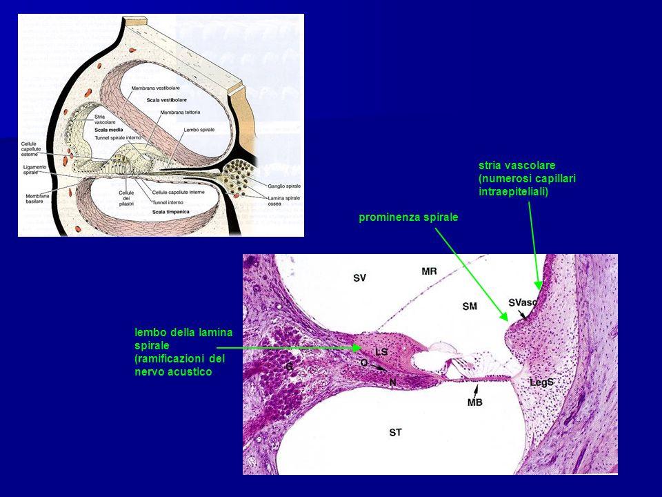 stria vascolare (numerosi capillari intraepiteliali) prominenza spirale lembo della lamina spirale (ramificazioni del nervo acustico
