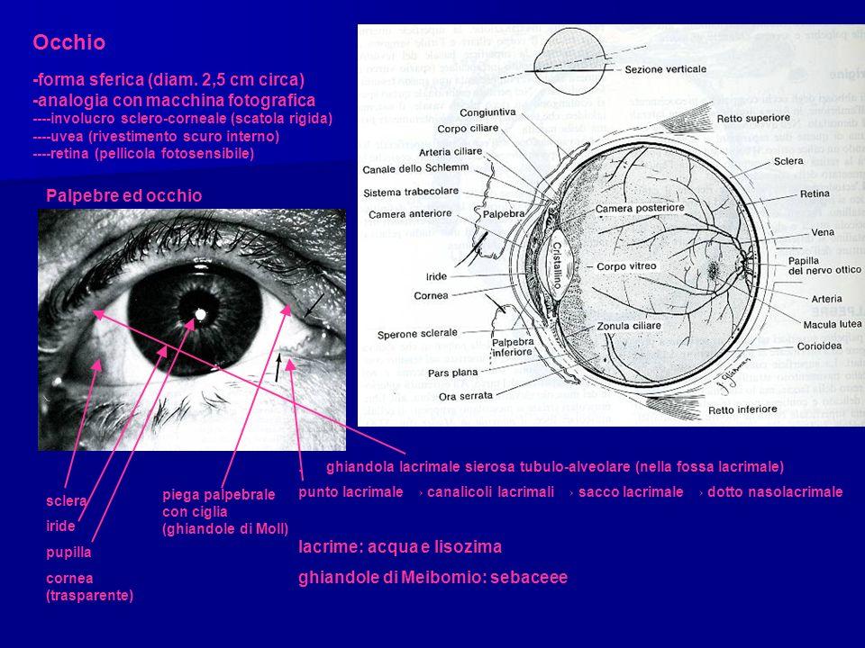 Occhio -forma sferica (diam. 2,5 cm circa) -analogia con macchina fotografica ----involucro sclero-corneale (scatola rigida) ----uvea (rivestimento sc