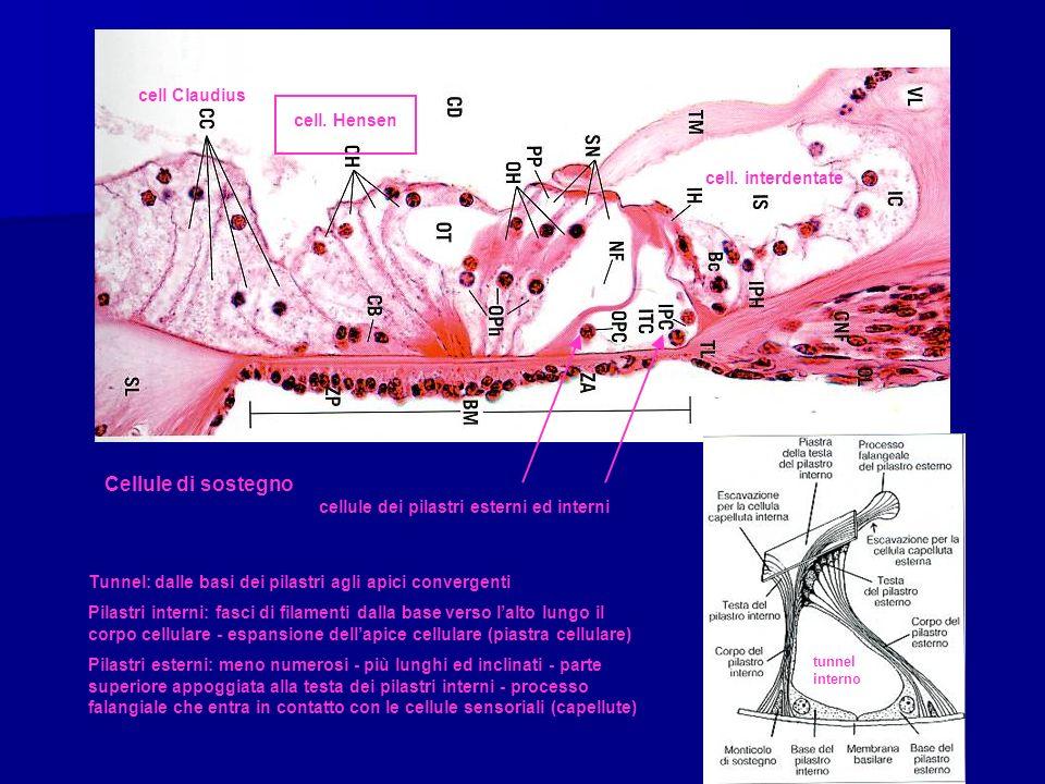 cell Claudius cell. Hensen cell. interdentate Cellule di sostegno cellule dei pilastri esterni ed interni tunnel interno Tunnel: dalle basi dei pilast