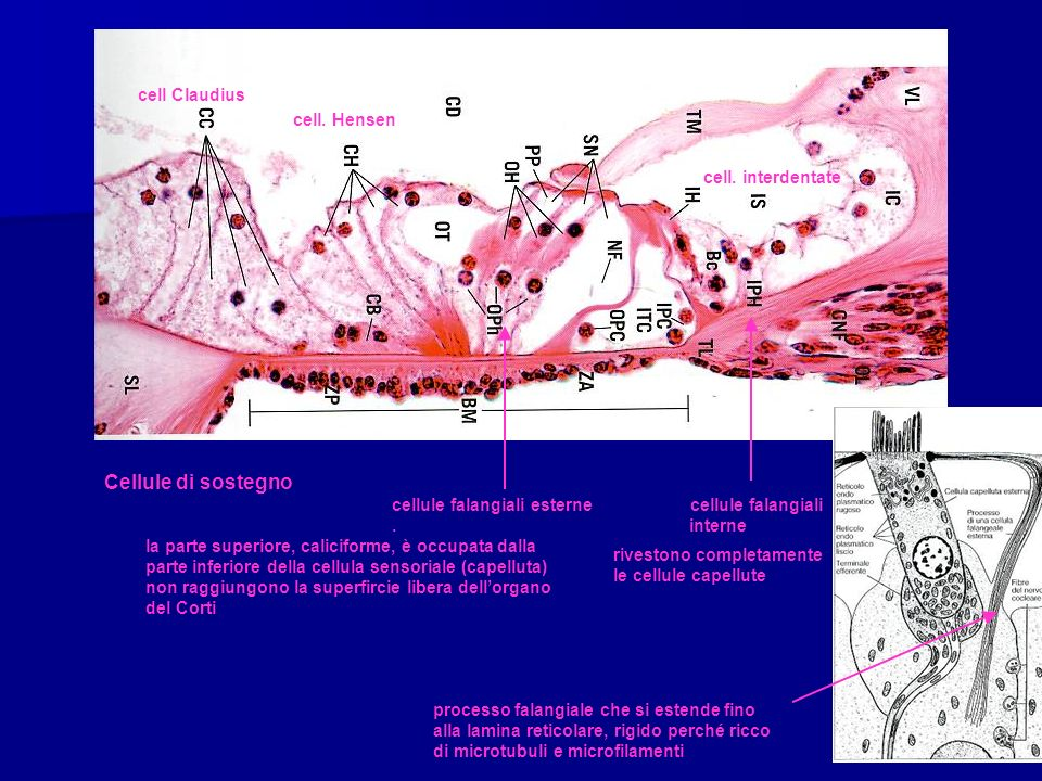 cell Claudius cell. Hensen cell. interdentate Cellule di sostegno cellule falangiali esterne cellule falangiali. interne la parte superiore, calicifor