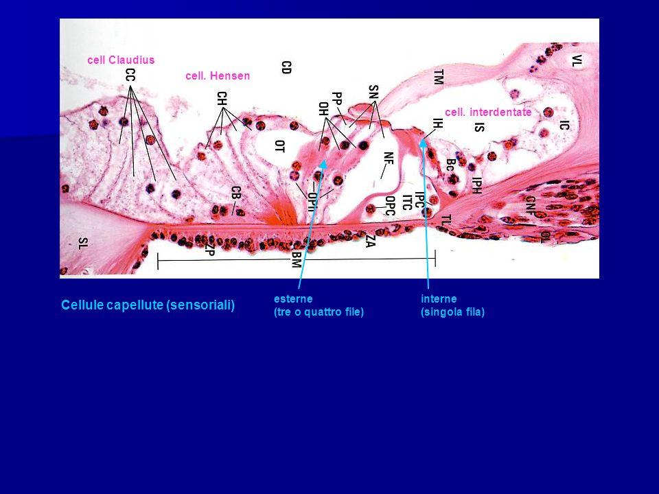 cell Claudius cell. Hensen cell. interdentate Cellule capellute (sensoriali) esterne interne (tre o quattro file) (singola fila)