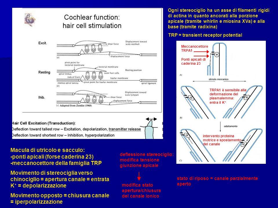 Ogni stereociglio ha un asse di filamenti rigidi di actina in quanto ancorati alla porzione apicale (tramite whirlin e miosina XVa) e alla base (tramite radixina) TRP = transient receptor potential Ponti apicali di caderina 23 Meccanocettore TRPA1 TRPA1 è sensibile alla deformazione del plasmalemma: entra il K + intervento proteina motrice e spostamento del canale Macula di utricolo e sacculo: -ponti apicali (forse caderina 23) -meccanocettore della famiglia TRP Movimento di stereociglia verso chinociglio = apertura canale = entrata K + = depolarizzazione Movimento opposto = chiusura canale = iperpolarizzazione deflessione stereociglio: modifica tensione giunzione apicale modifica stato apertura/chiusura del canale ionico stato di riposo = canale parzialmente aperto