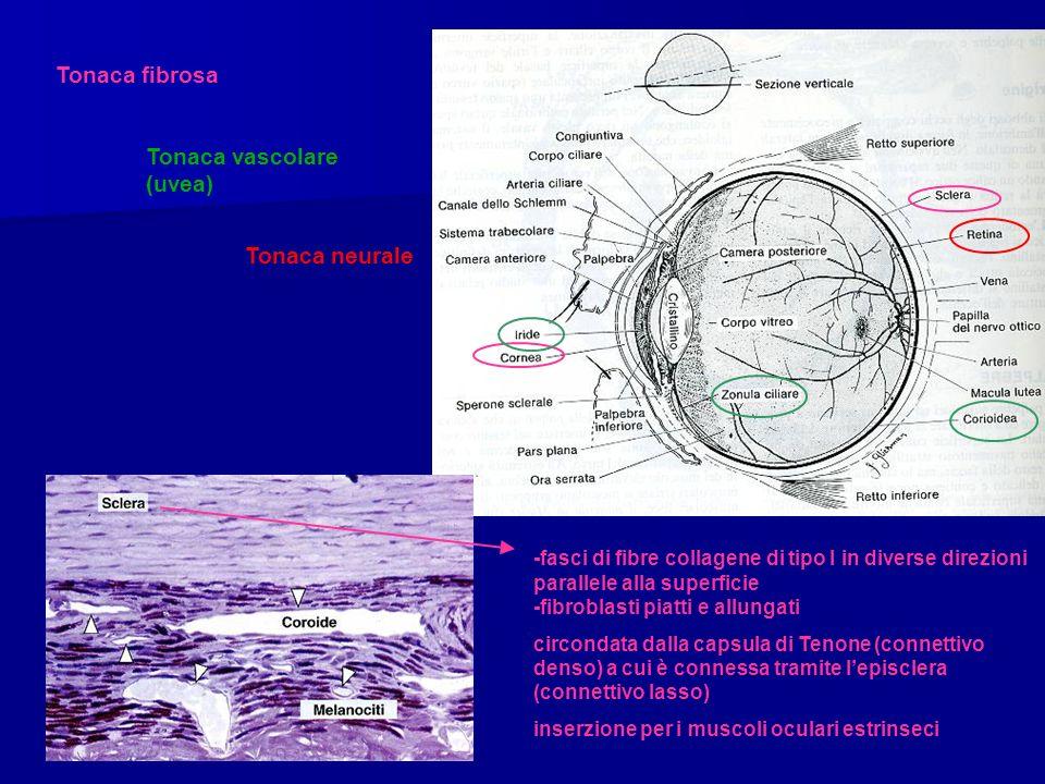 Tonaca fibrosa Tonaca vascolare (uvea) Tonaca neurale -fasci di fibre collagene di tipo I in diverse direzioni parallele alla superficie -fibroblasti piatti e allungati circondata dalla capsula di Tenone (connettivo denso) a cui è connessa tramite lepisclera (connettivo lasso) inserzione per i muscoli oculari estrinseci