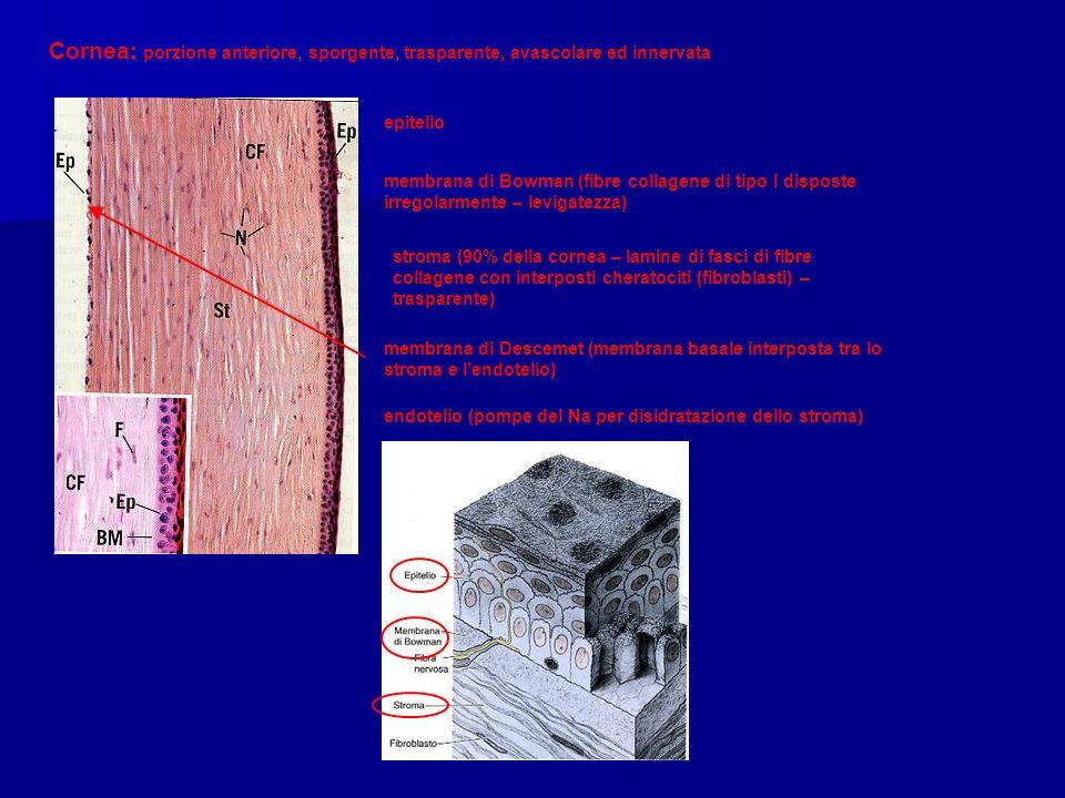 Cornea: porzione anteriore, sporgente, trasparente, avascolare ed innervata epitelio membrana di Bowman (fibre collagene di tipo I disposte irregolarmente – levigatezza) stroma (90% della cornea – lamine di fasci di fibre collagene con interposti cheratociti (fibroblasti) – trasparente) membrana di Descemet (membrana basale interposta tra lo stroma e lendotelio) endotelio (pompe del Na per disidratazione dello stroma)