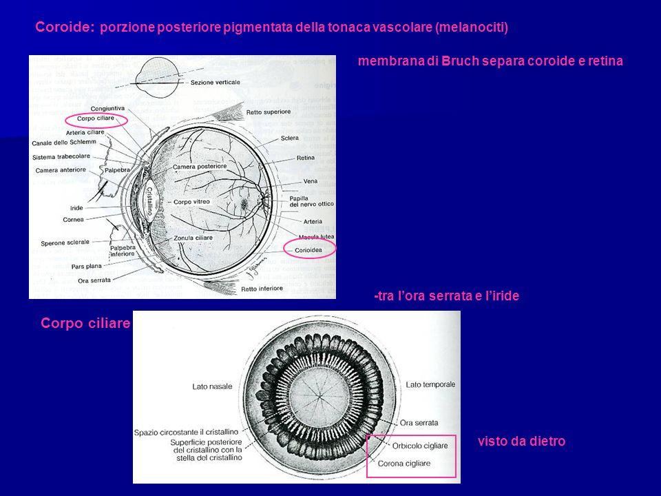 Corpo ciliare Coroide: porzione posteriore pigmentata della tonaca vascolare (melanociti) membrana di Bruch separa coroide e retina -tra lora serrata e liride visto da dietro