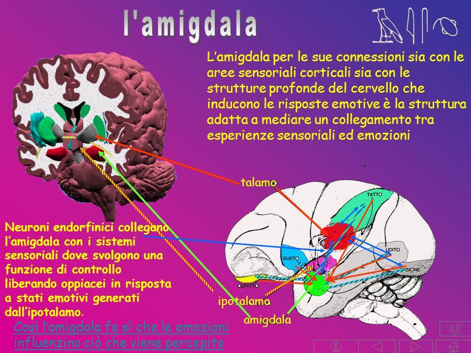 Lamigdala per le sue connessioni sia con le aree sensoriali corticali sia con le strutture profonde del cervello che inducono le risposte emotive è la struttura adatta a mediare un collegamento tra esperienze sensoriali ed emozioni talamo amigdala ipotalamo Neuroni endorfinici collegano lamigdala con i sistemi sensoriali dove svolgono una funzione di controllo liberando oppiacei in risposta a stati emotivi generati dallipotalamo.