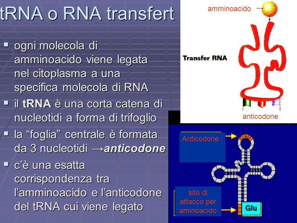 Anticodone sito di attacco per aminoacido tRNA o RNA transfert ogni molecola di amminoacido viene legata nel citoplasma a una specifica molecola di RN