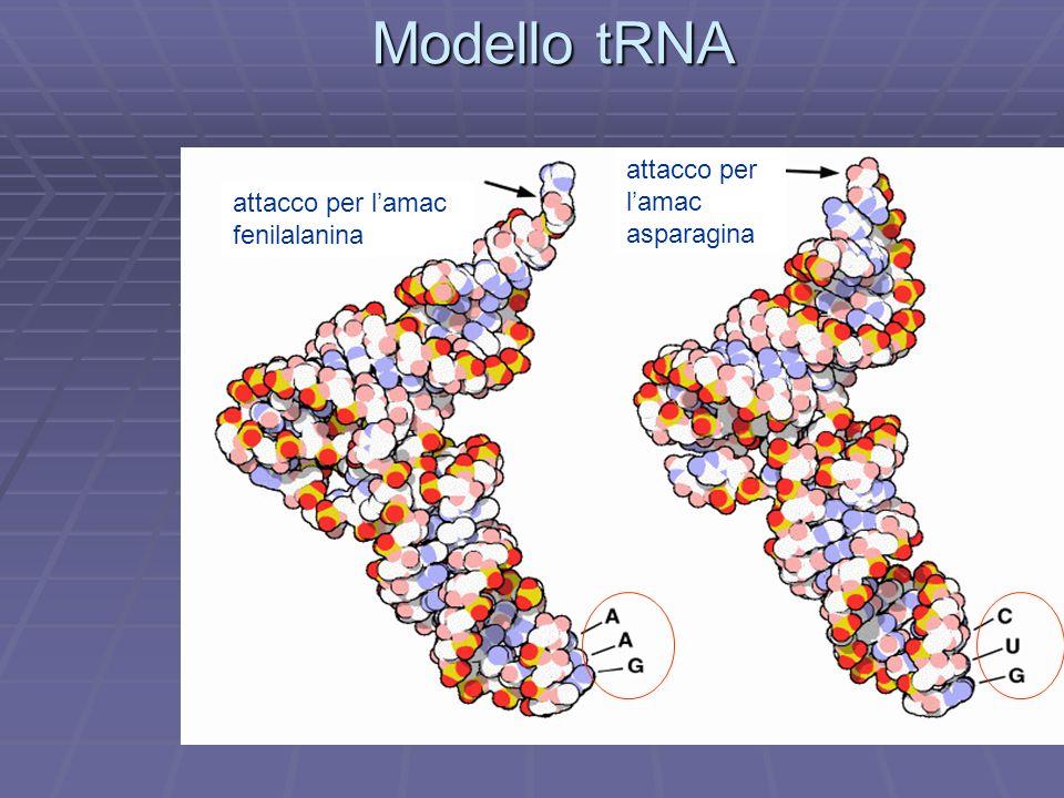Modello tRNA attacco per lamac fenilalanina attacco per lamac asparagina