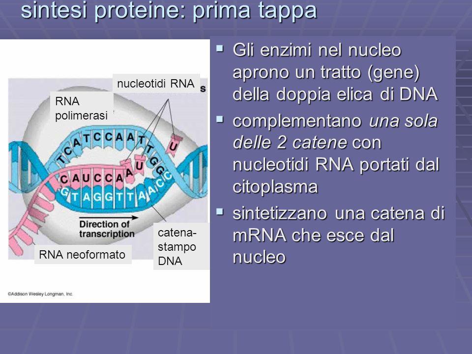 sintesi proteine: prima tappa mRNA DNA RNA polimerasi Gli enzimi nel nucleo aprono un tratto (gene) della doppia elica di DNA Gli enzimi nel nucleo ap