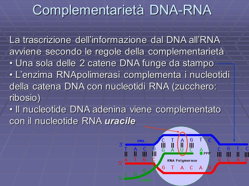 Complementarietà DNA-RNA La trascrizione dellinformazione dal DNA allRNA avviene secondo le regole della complementarietà Una sola delle 2 catene DNA