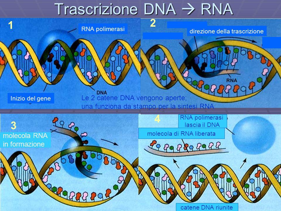 Trascrizione DNA RNA 1 3 2 4 RNA polimerasi Inizio del gene direzione della trascrizione molecola RNA in formazione molecola di RNA liberata RNA polim
