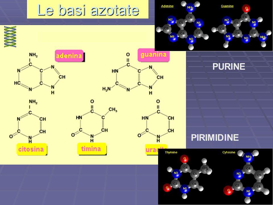 PURINE PIRIMIDINE Le basi azotate