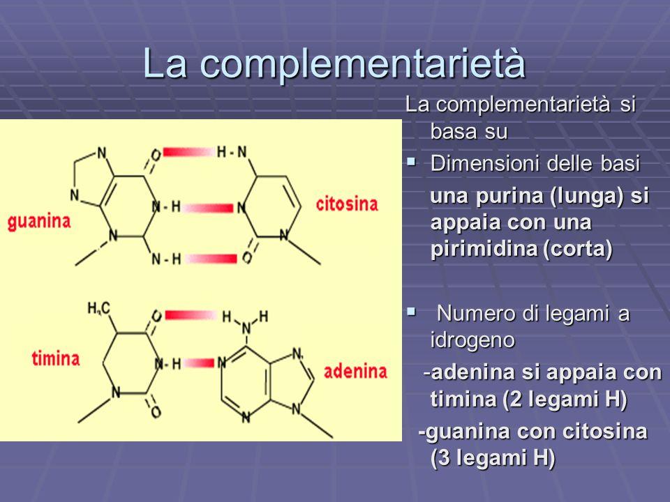 La complementarietà La complementarietà si basa su Dimensioni delle basi Dimensioni delle basi una purina (lunga) si appaia con una pirimidina (corta)