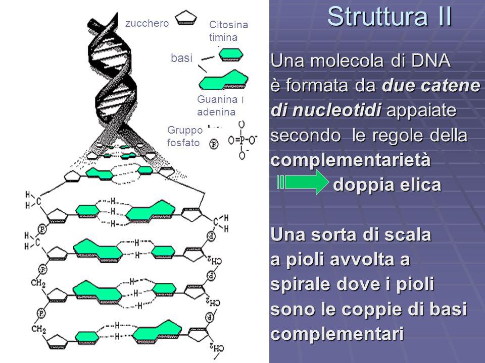 Struttura II Una molecola di DNA è formata da due catene di nucleotidi appaiate secondo le regole della complementarietà doppia elica doppia elica Una