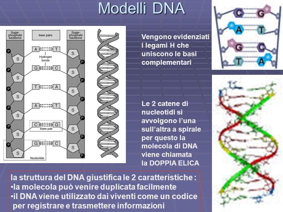 Modelli DNA Vengono evidenziati i legami H che uniscono le basi complementari Le 2 catene di nucleotidi si avvolgono luna sullaltra a spirale per ques