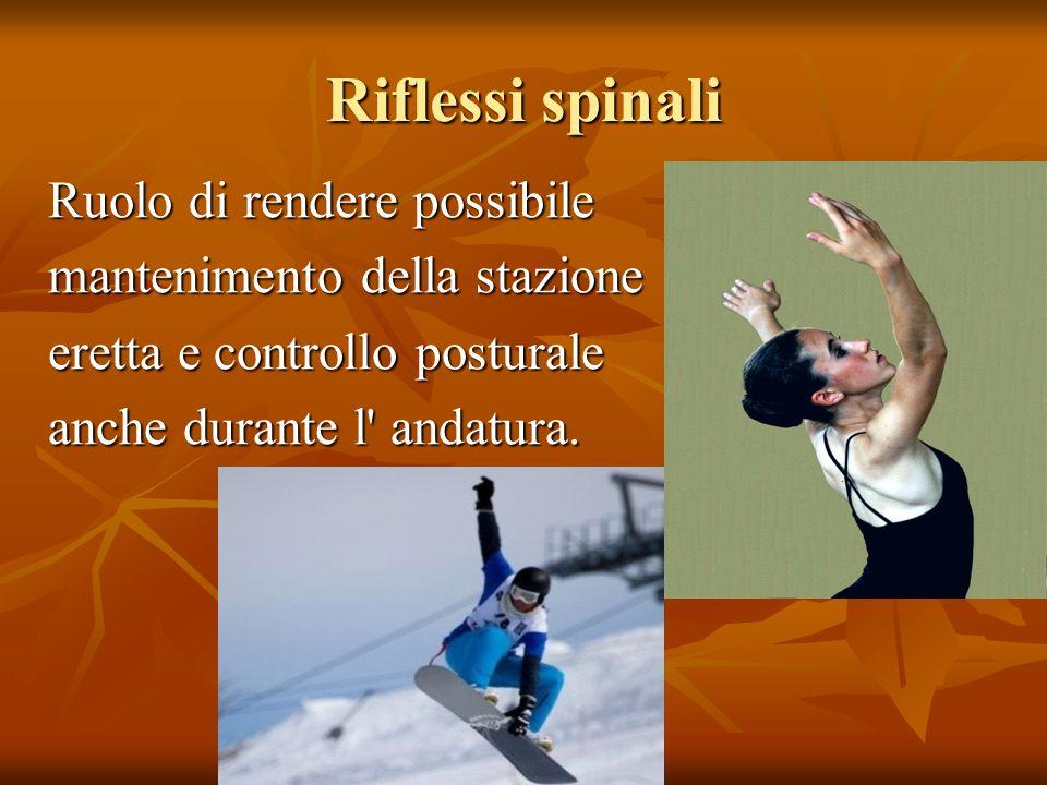 Riflessi spinali Ruolo di rendere possibile mantenimento della stazione eretta e controllo posturale anche durante l' andatura.