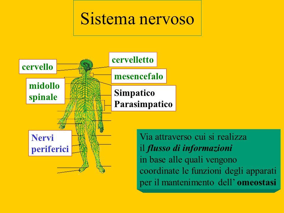 Sistema nervoso cervello midollo spinale Nervi periferici cervelletto Simpatico Parasimpatico mesencefalo Via attraverso cui si realizza il flusso di