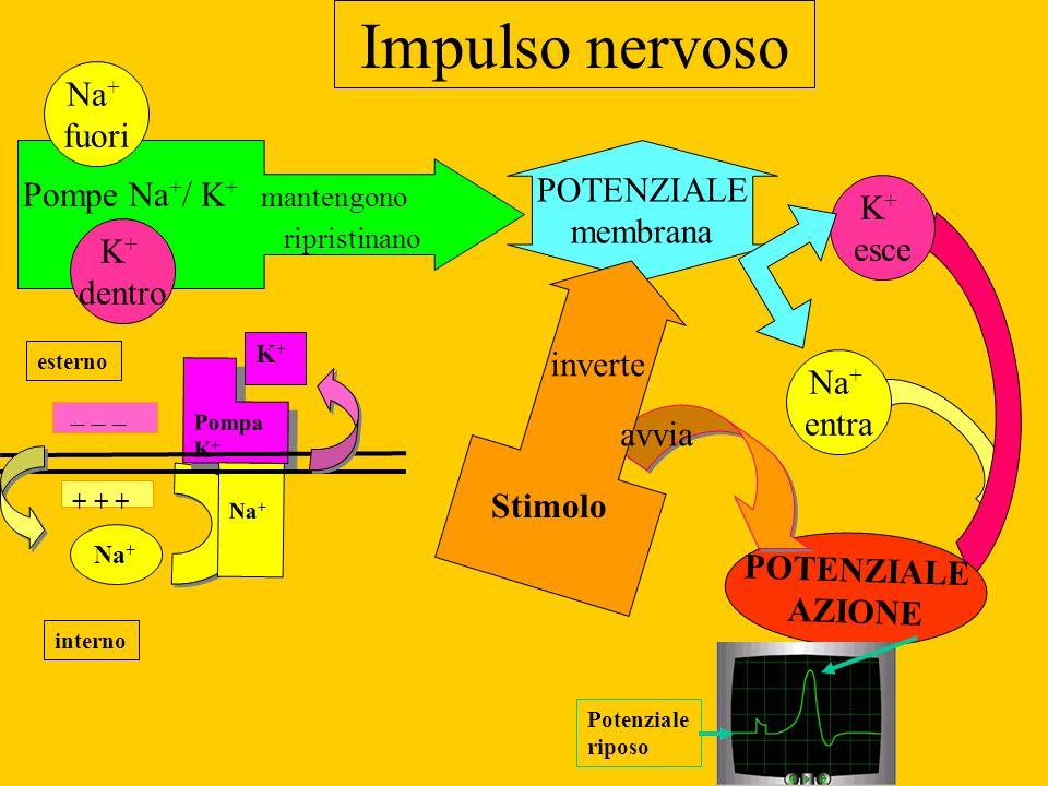 Impulso nervoso POTENZIALE membrana Na + entra K + esce POTENZIALE AZIONE Pompe Na + / K + mantengono ripristinano Na + fuori K + dentro Stimolo inter