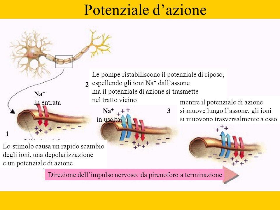 Potenziale dazione Direzione dellimpulso nervoso: da pirenoforo a terminazione Lo stimolo causa un rapido scambio degli ioni, una depolarizzazione e u