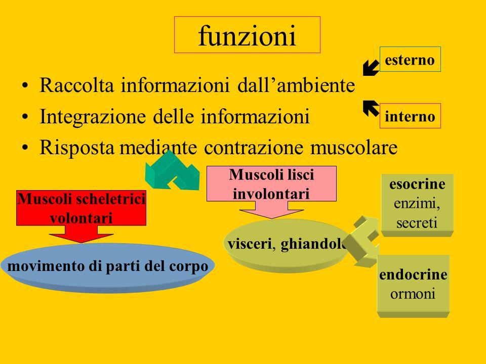 funzioni Raccolta informazioni dallambiente Integrazione delle informazioni Risposta mediante contrazione muscolare Muscoli scheletrici volontari Musc