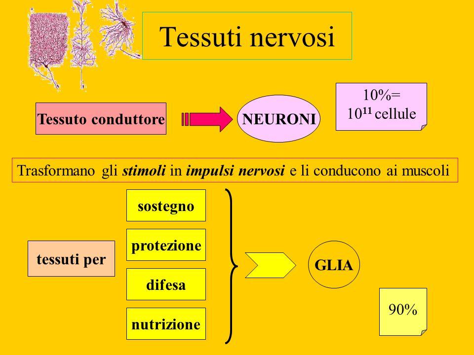 Tessuti nervosi Tessuto conduttore NEURONI Trasformano gli stimoli in impulsi nervosi e li conducono ai muscoli 10%= 10 11 cellule tessuti per sostegn