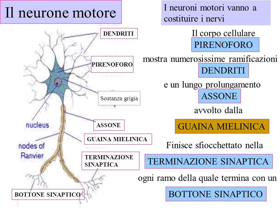 ogni ramo della quale termina con un I neuroni motori vanno a costituire i nervi DENDRITI e un lungo prolungamento ASSONE Finisce sfiocchettato nella