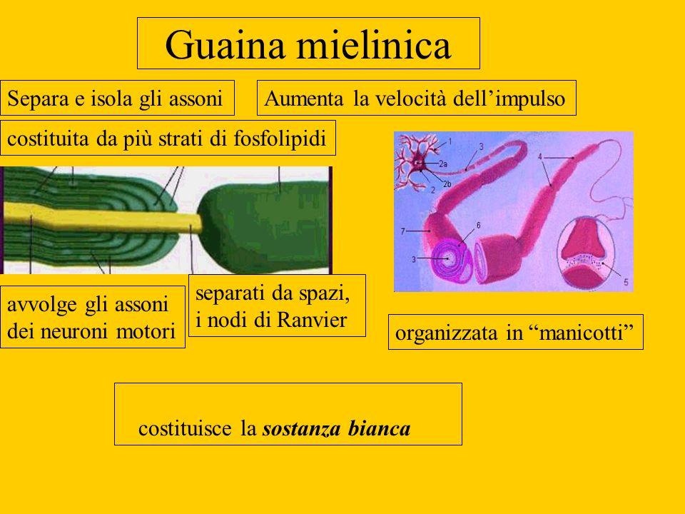 Guaina mielinica costituisce la sostanza bianca costituita da più strati di fosfolipidi separati da spazi, i nodi di Ranvier avvolge gli assoni dei ne