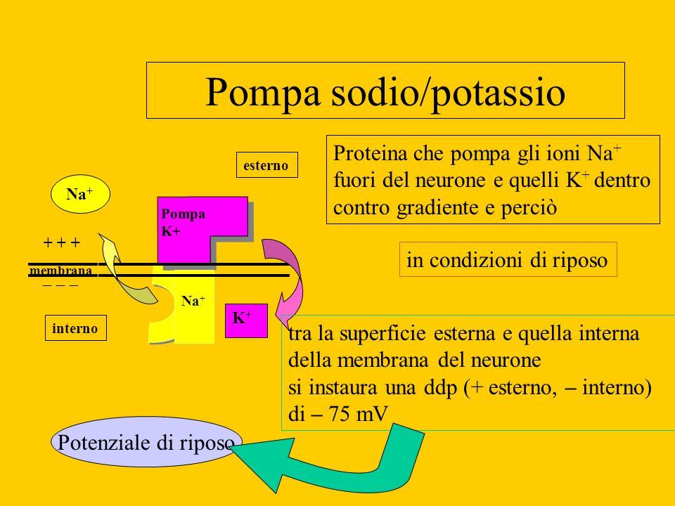 Pompa sodio/potassio PompaK+ PompaK+ Na + K+K+ + + + esterno interno Proteina che pompa gli ioni Na + fuori del neurone e quelli K + dentro contro gra