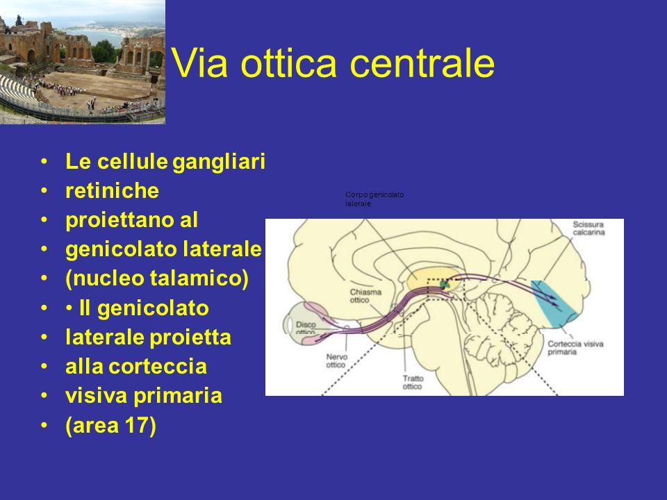 Via ottica centrale Le cellule gangliari retiniche proiettano al genicolato laterale (nucleo talamico) Il genicolato laterale proietta alla corteccia
