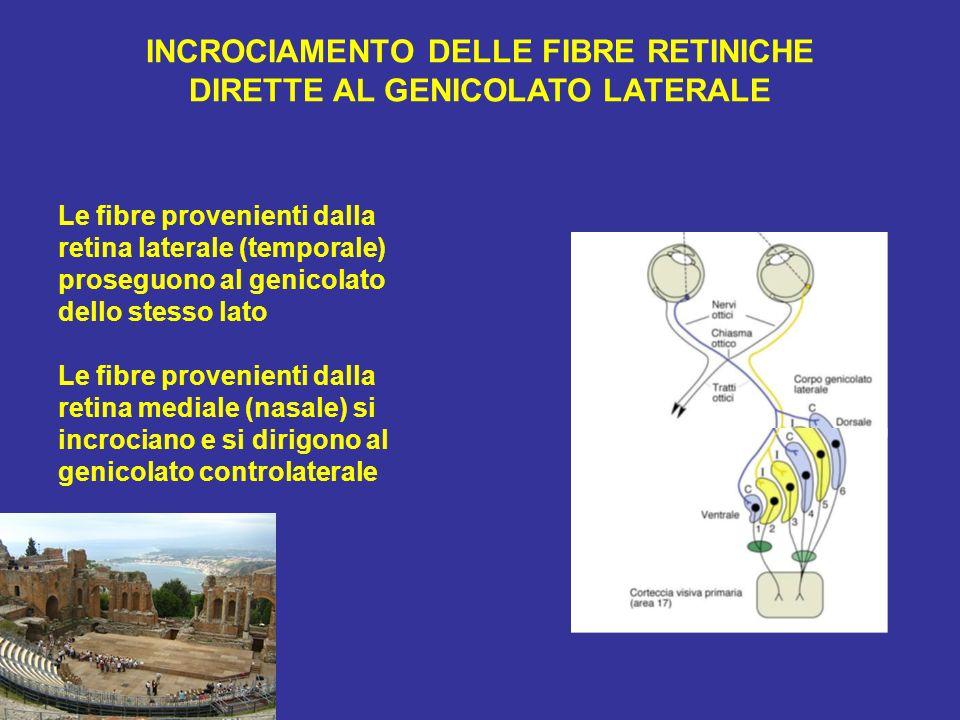 INCROCIAMENTO DELLE FIBRE RETINICHE DIRETTE AL GENICOLATO LATERALE Le fibre provenienti dalla retina laterale (temporale) proseguono al genicolato del