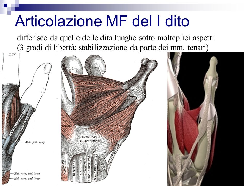 Articolazione MF del I dito differisce da quelle delle dita lunghe sotto molteplici aspetti (3 gradi di libertà; stabilizzazione da parte dei mm.