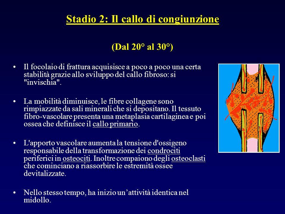 Stadio 2: Il callo di congiunzione (Dal 20° al 30°) Il focolaio di frattura acquisisce a poco a poco una certa stabilità grazie allo sviluppo del call
