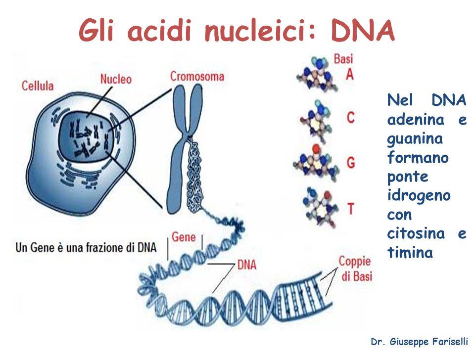 Gli acidi nucleici: DNA Dr. Giuseppe Fariselli Nel DNA adenina e guanina formano ponte idrogeno con citosina e timina