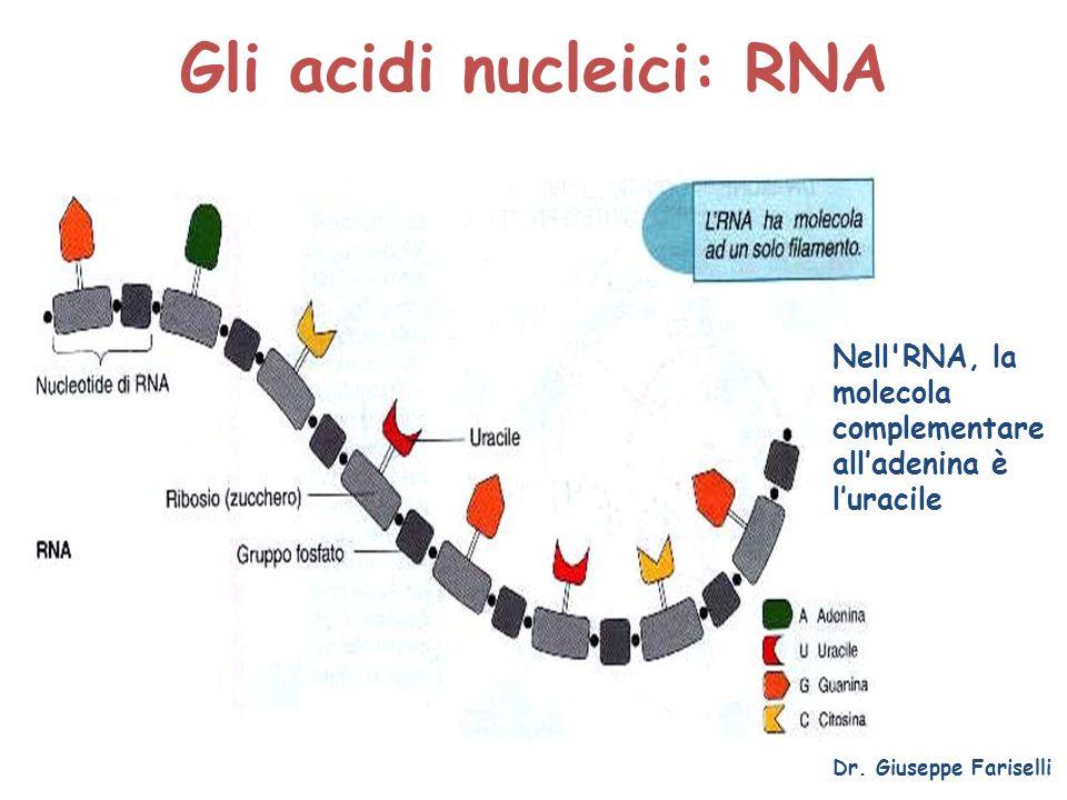 Gli acidi nucleici: RNA Dr. Giuseppe Fariselli Nell'RNA, la molecola complementare alladenina è luracile