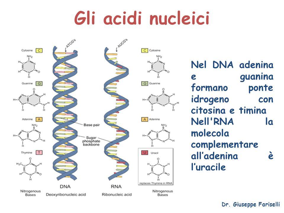 Gli acidi nucleici Dr. Giuseppe Fariselli Nel DNA adenina e guanina formano ponte idrogeno con citosina e timina Nell'RNA la molecola complementare al