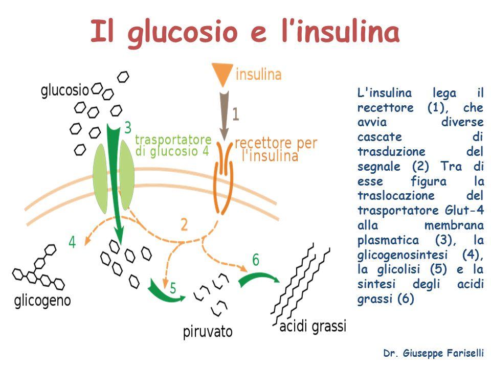 Il glucosio e linsulina Dr. Giuseppe Fariselli L'insulina lega il recettore (1), che avvia diverse cascate di trasduzione del segnale (2) Tra di esse