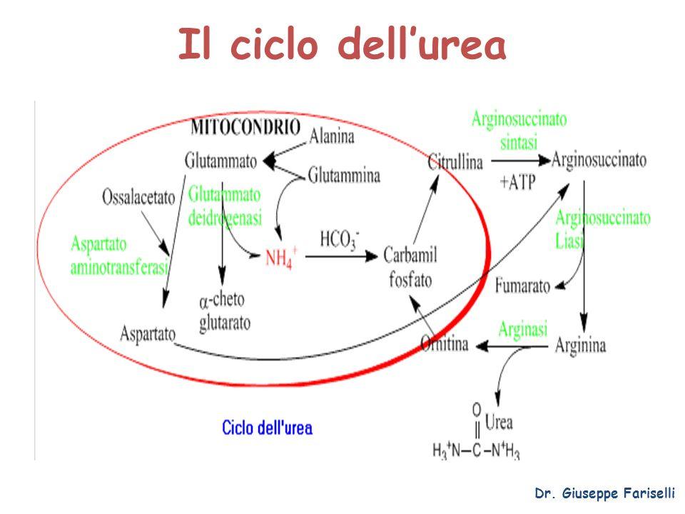 Il ciclo dellurea Dr. Giuseppe Fariselli