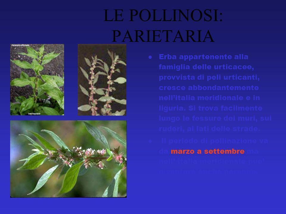 Erba appartenente alla famiglia delle urticacee, provvista di peli urticanti, cresce abbondantemente nellitalia meridionale e in liguria.