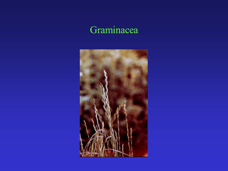 Graminacea
