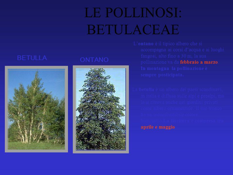 LE POLLINOSI: BETULACEAE Lontano è il tipico albero che si accompagna ai corsi dacqua e ai luoghi fangosi, alto fino a 30 m, la sua pollinazione va da febbraio a marzo.