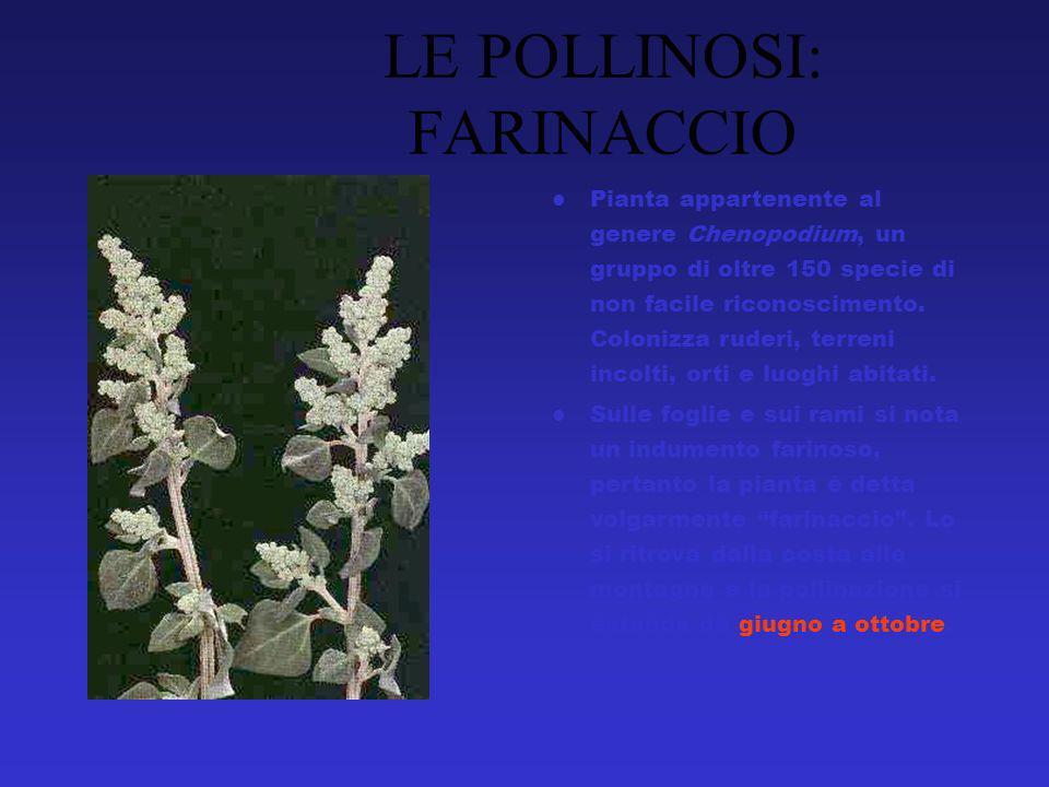 Pianta appartenente al genere Chenopodium, un gruppo di oltre 150 specie di non facile riconoscimento.