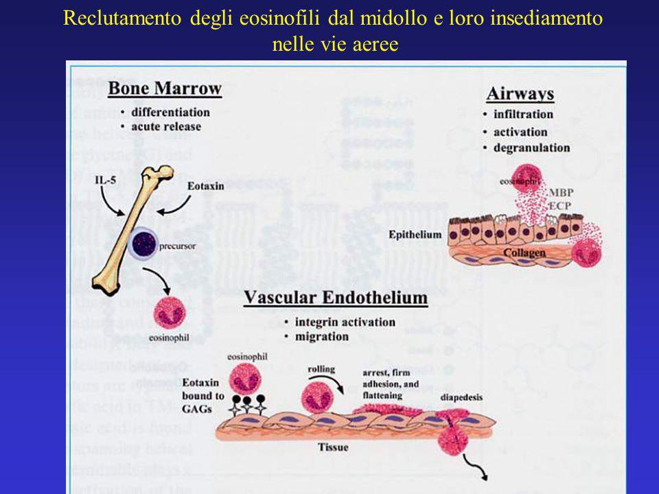 Reclutamento degli eosinofili dal midollo e loro insediamento nelle vie aeree